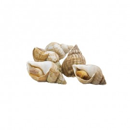 Frozen Toush's Cooked Whole Shell Whelks