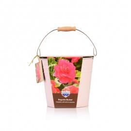 球根海棠种植套装(重瓣粉色)