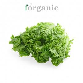 forganic 有机罗莎绿生菜