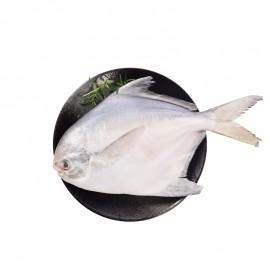 東海野生鯧魚